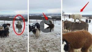 cabra-pasea-sobre-burro3
