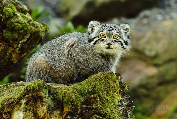 especies-felinas-peligro-extincion-10