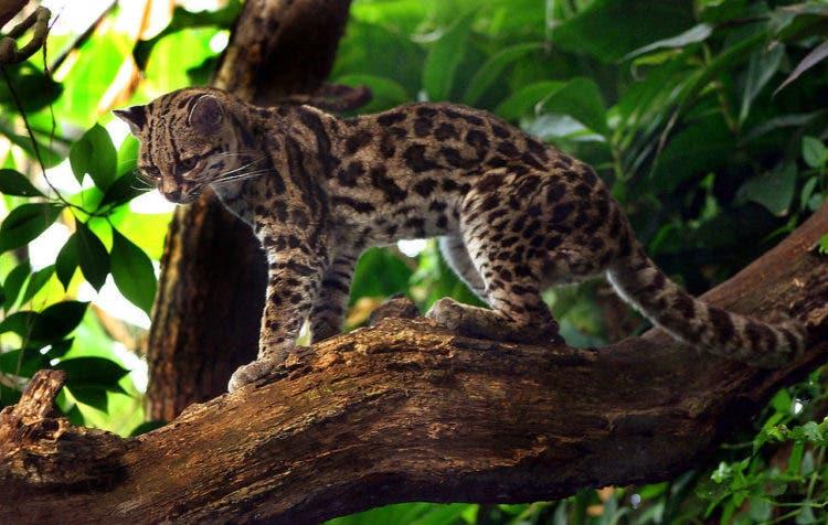 especies-felinas-peligro-extincion-11