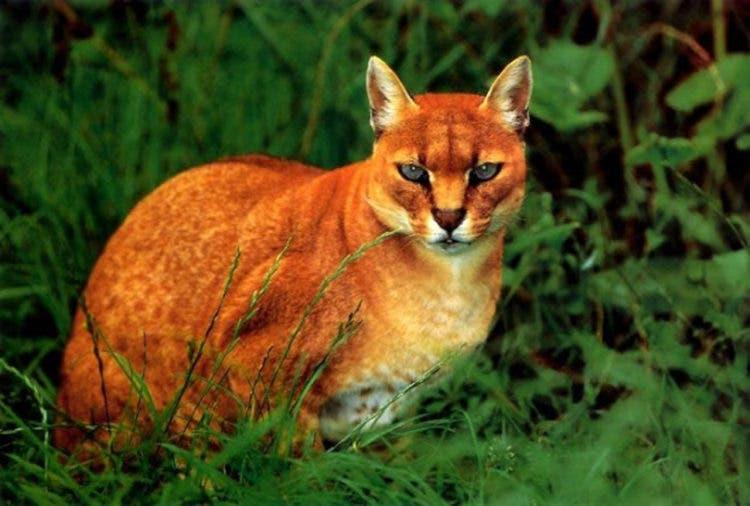 especies-felinas-peligro-extincion-14
