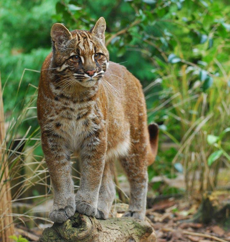 especies-felinas-peligro-extincion-15