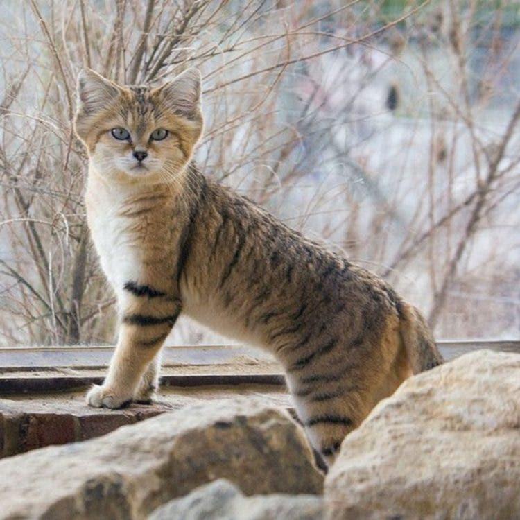 especies-felinas-peligro-extincion-16
