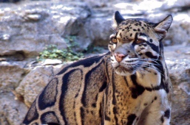 especies-felinas-peligro-extincion-19
