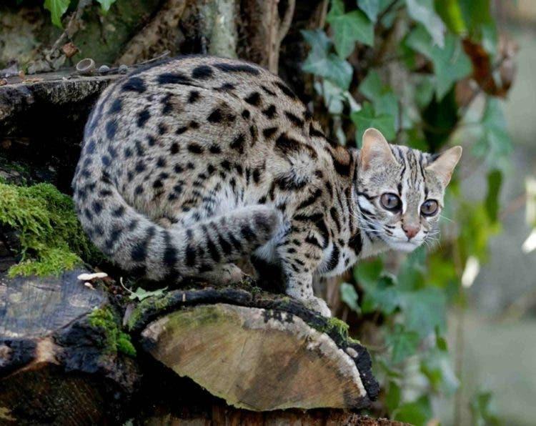 especies-felinas-peligro-extincion-21