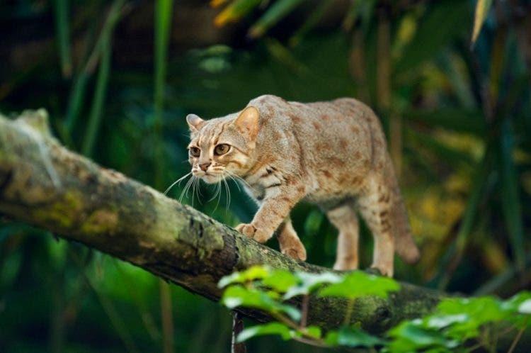 especies-felinas-peligro-extincion-26