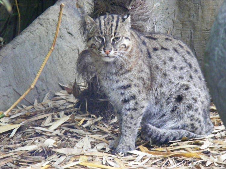 especies-felinas-peligro-extincion-4