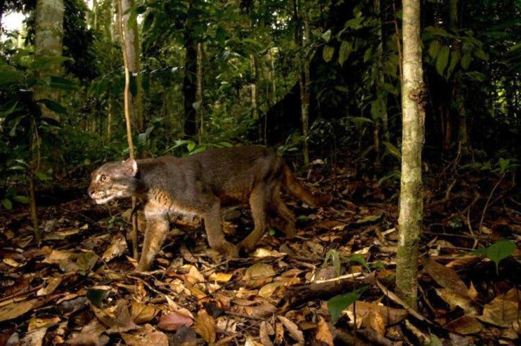 especies-felinas-peligro-extincion-6