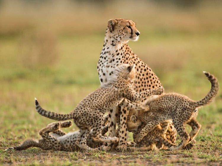 especies-felinas-peligro-extincion