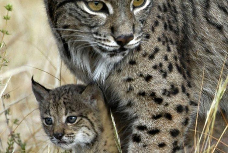 especies-felinas-peligro-extincion-9