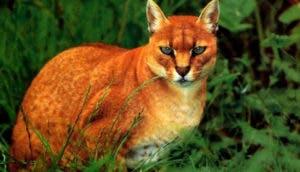 especies-felinas-peligro-extincion-portada