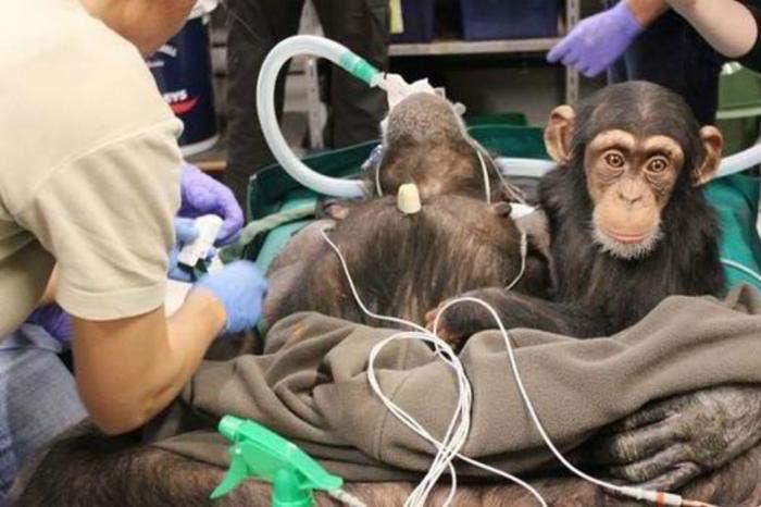 hermosa-chimpance-madre-hija-4