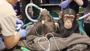 mama-chimpance