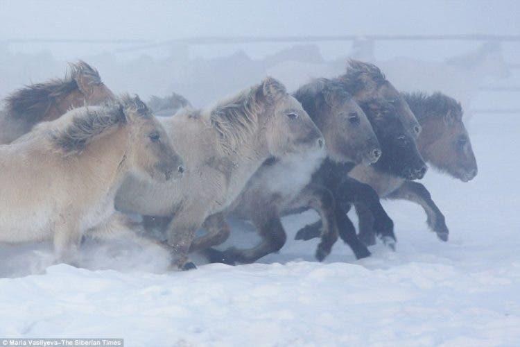 caballos-yakutos-3