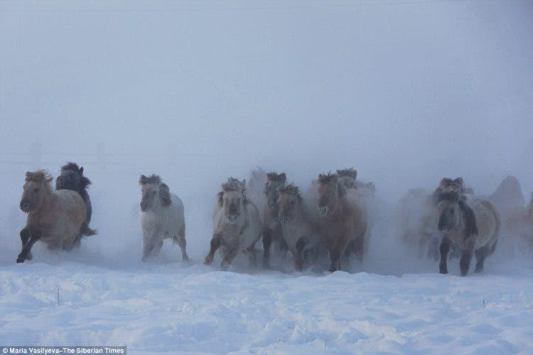 caballos-yakutos-6