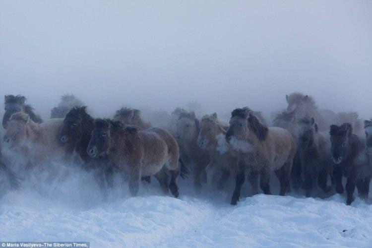 caballos-yakutos-8