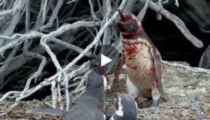 pinguino-pelea