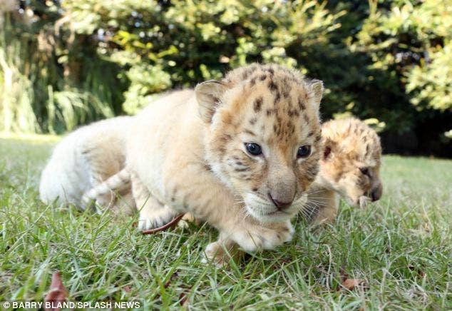 leon-tigre-blanco-bebes-3