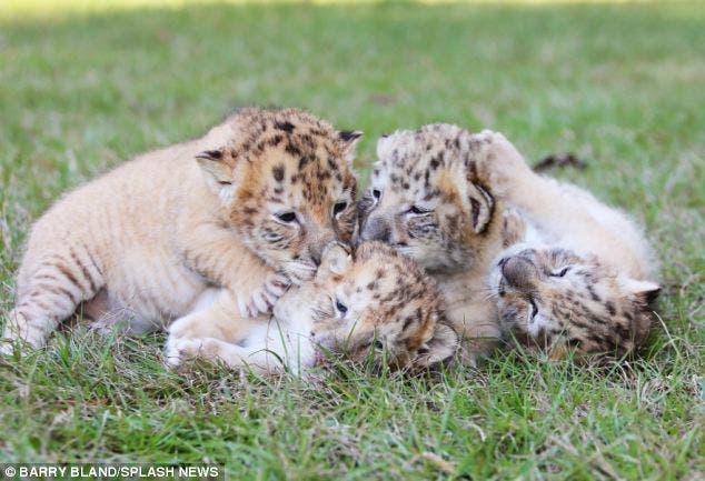 leon-tigre-blanco-bebes-4