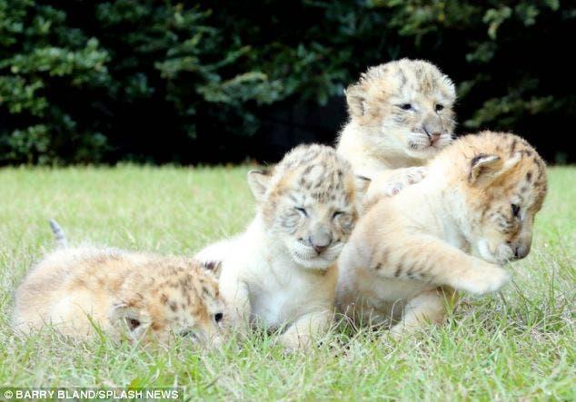 leon-tigre-blanco-bebes-7
