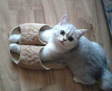 gatitos-usando-zapatos-1