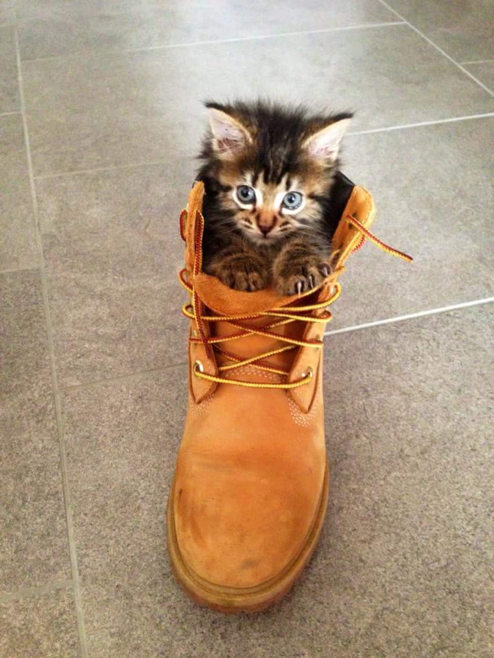 gatitos-usando-zapatos-14