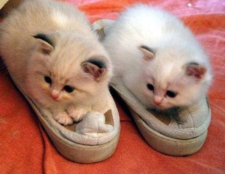 gatitos-usando-zapatos-6