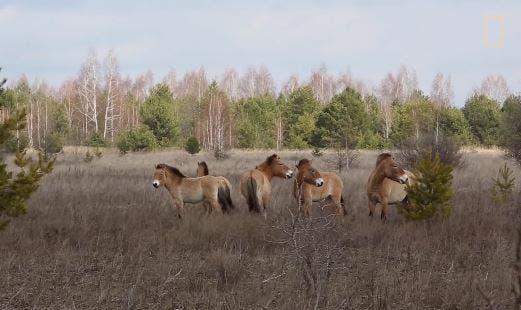 los-animales-que-conquistaron-de-vuelta-chernobyl-4