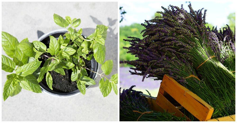 7 plantas que te ayudar n a ganarle la batalla a los mosquitos de forma pac fica - Plantas ahuyenta mosquitos ...