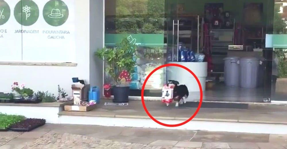 Pituco, el perro que va a comprar su alimento en la tienda alegrando a todos los vecinos