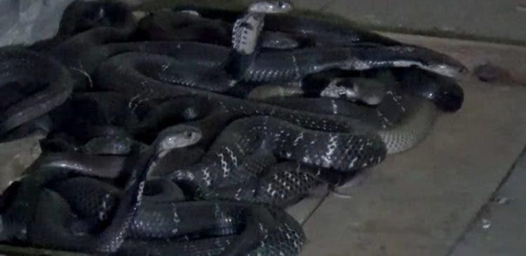 esta mujer china vive con mil 1000 cobras serpientes China Cobra Queen, Hu Xiaoxia, Chongqing medicina tradicional vino piel