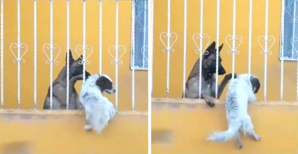 Ayuda a su mejor amigo a saltar la verja para que pueda entrar a su casa