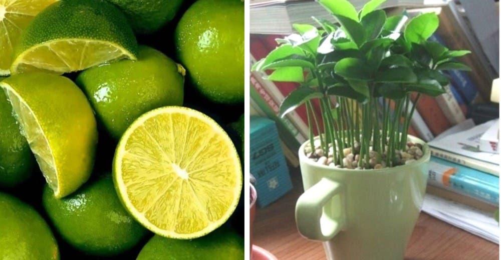 Aprende a plantar limones en una taza para darle el mejor aroma a tu hogar