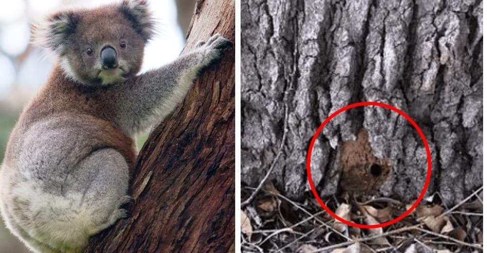 Envenenan los árboles de 100 años donde se refugian los koalas tras los incendios