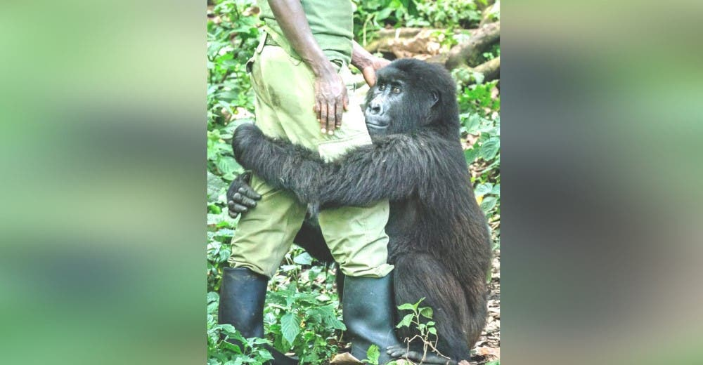 Una amorosa gorila le ofrece un abrazo de consuelo a su cuidador
