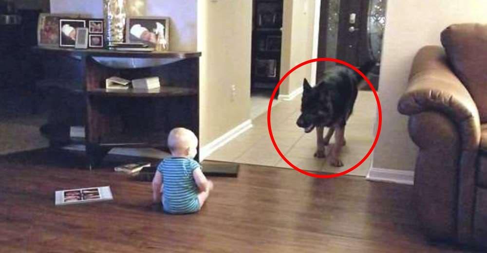 Su adorable y gran perro se acerca a su bebé de 11 meses mientras jugaba