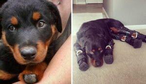 Un perrito sin patas rescatado vuelve a caminar y recibe la oportunidad de ser feliz