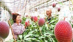 Plantan por error el mango más caro del mundo y ahora necesitan vigilancia para protegerse