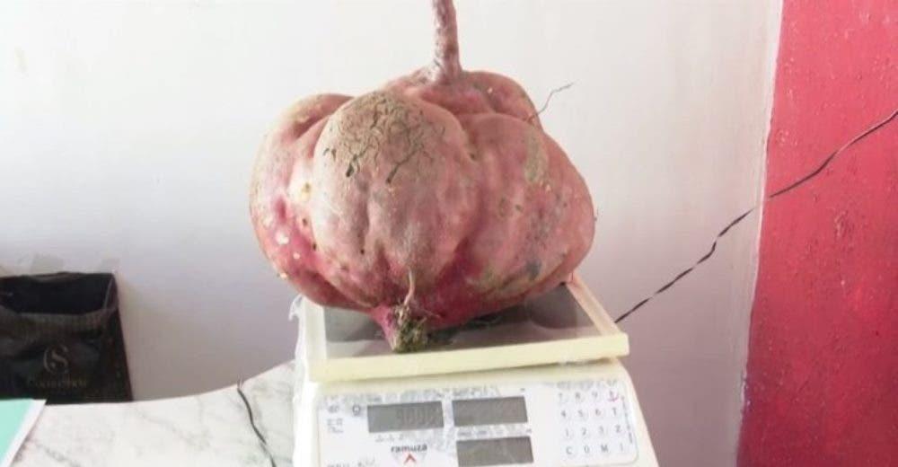 Cosecha una patata de 10 kilos que sembró en su jardín sin usar ningún fertilizante